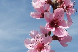 Peach Crop Load Management: Blossom Thinning and Fruit Size