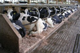 Animal Welfare in Dairy System Design