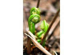 Fiddlehead Beans Image Credit: MarkMartins is on pixabay.com is in the public domain