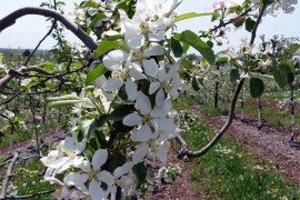Bloom is still raging in the orchard. Stay vigilant for disease conditions! Photo: K. Peter, Penn State