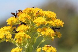 Pollinators on Solidago rigida (stiff goldenrod) Photo credit: Connie Schmotzer