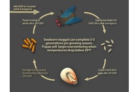 Seedcorn maggot life cycle, including the number of growing degree days (GDD, base 39F) that are needed to complete each stage. Image credit: Nick Sloff, Penn State University
