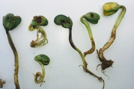 Slug damage to cotyledon stage soybeans in Centre County (image by Adriana Murillo-Williams, PSU Extension)