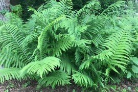 Ostrich Fern, Photo credit: Louise Brewer