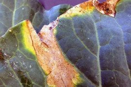 "Black rot on cabbage, caused by the bacterium Xanthomonas campestris pv. campestris. Note characteristic ""V"" shaped lesions starting at leaf margin. Photo: Lee Stivers, Penn State"