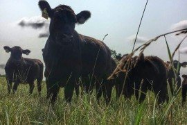 Cattle on pasture. Photo credit: Dr. Jessica Williamson, Penn State Extension