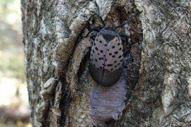 Female spotted lanternfly and her egg mass. Photo: Emelie Swackhamer, Penn State