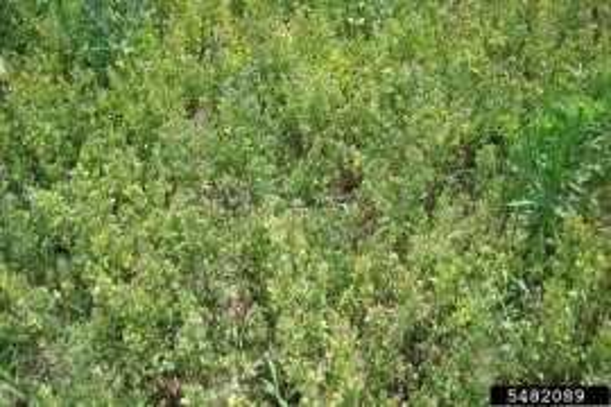 Hopperburn in alfalfa resulting from potato leafhopper feeding. Photo: Bryan Jensen, University of Wisconsin, Bugwood.org