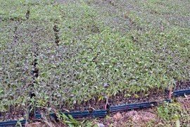 Flats of tomato seedlings ready to be planted. Photo: Tom Butzler, Penn State