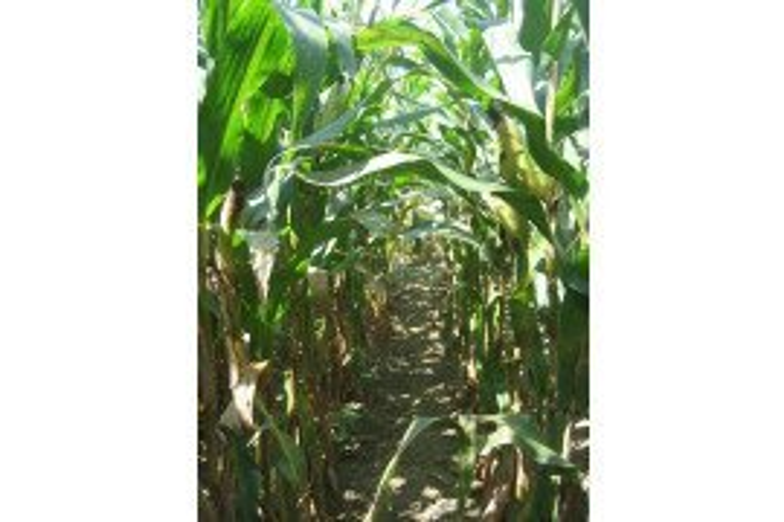Grey Leaf Spot in corn. Image Credit: Alyssa Collins