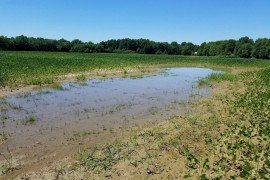 Ponding in soybean field. Credit: Claire Coombs