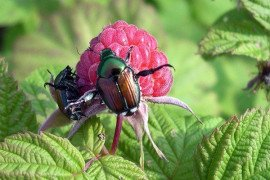 Japanese beetle on raspberries. Photo: Kathy Demchak, Penn State