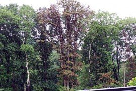 Overall picture of white oak impacted by cynipid wasp galls. Photo: Sandy Feather, Penn State