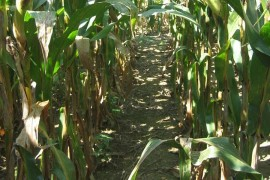 Grey leaf spot in lower corn canopy