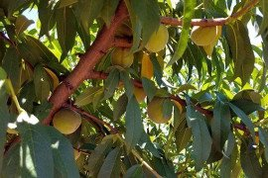 Peaches: Harvest and Postharvest Handling