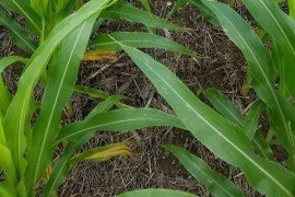 Nitrogen deficiency in corn, characterized by yellowing along the midrib of the lower leaves, starting at the leaf tip and moving towards the stalk. (Image credit: Charlie White)