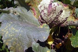 Downy mildew lesions on pumpkin. Photo: Beth Gugino, Penn State