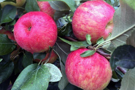Growers with Premier Honeycrisp plantings should monitor fruit maturity and be ready to pick this early variety. Photo: Chris Walsh, University of Maryland