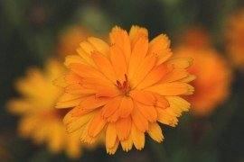 Coreopsis. Photo credit: Mark Krotulski