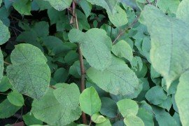 Japanese knotweed (Photo by Erin Frederick - Penn State)