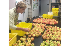 Color sorting Premier Honeycrisp apples in the laboratory for storage trials. Photo: Chris Walsh, University of Maryland