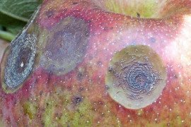 Bitter rot on apple and pear fruit is caused by the pathogenic fungi Colletrotrichum gloeosporioides and C. acutatum. Photo: Kari Peter, Penn State