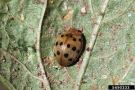 Bean leaf beetle adult, showing feeding damage. Photo credit: Whitney Cranshaw, Colorado State University, Bugwood.org (images used under Creative Commons Attribution 3.0 License).