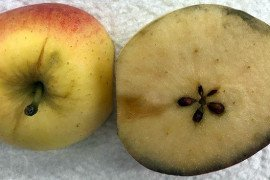 Figure 1. Tree-ripe Gala (Kidd's D-8) apple picked in Central Maryland on August 29, 2018. This apple had a visible stem-end crack, with little starch (blue stain) in the flesh. Photo credit: Kathy Hunt, University of Maryland