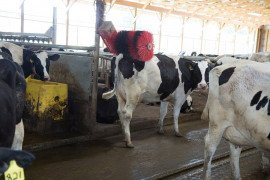 Animal Welfare Considerations in Dairy System Design