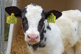 Butyrate Addition in Calf Milk Replacer