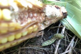 Corn earworm (CEW) and feeding on corn ear tip. Image credit: Rachel Milliron.