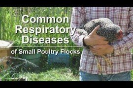 Common Respiratory Diseases of Small Poultry Flocks