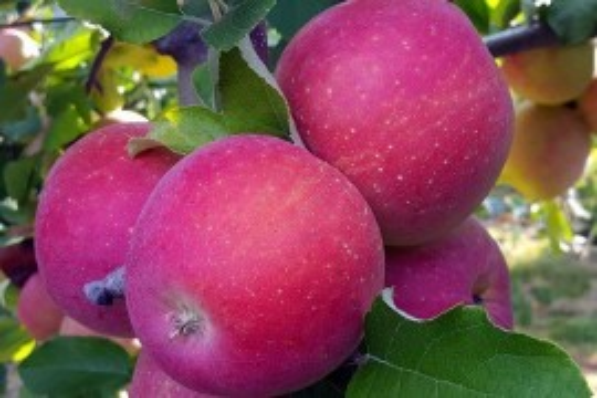 Daybreak Fuji fruit size and color in Adams County Pennsylvania on September 6, 2018. Photo: Tara Baugher, Penn State