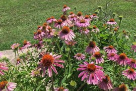 Coneflowers (Echinacea) can be divided. Photo credit: Lois Miklas