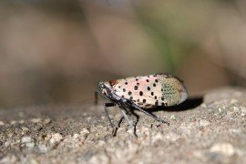 An adult spotted lanternfly. Photo by Pennsylvania Department of Agriculture