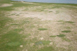 Figure 1. Desiccation injury on fine fescue fairway in Wisconsin. Photo: Peter Landschoot, Penn State