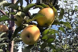 GoldRush apples in a tall-spindle planting. Photo: Kathy Hunt, University of Maryland