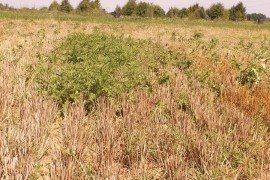 Canada thistle regrowth in a fallow field. (D. Lingenfelter, Penn State Extension)