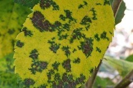 Leaf infected with Marssonina. Photo: K. Peter, Penn State