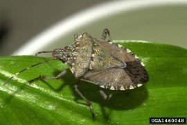 Brown marmorated stink bug, Photo credit: David R. Lance, USDA APHIS PPQ,