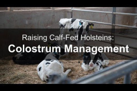 Raising Calf-Fed Holsteins: Colostrum Management