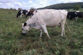 Kelp for Supplemental Feeding of Dairy Cows on Pasture