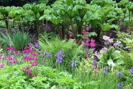 Japanese primrose in a woodland setting