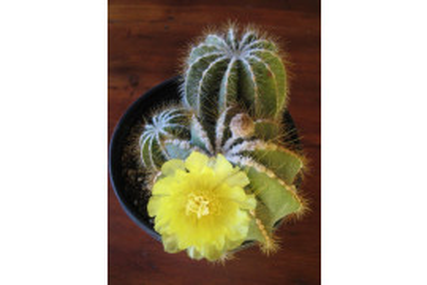 Flowering Balloon Cactus