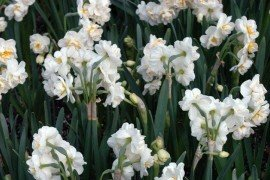 Daffodils are a deer-resistant bulb that can be planted in heavily browsed landscapes.