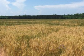 Italian ryegrass infestation in winter wheat. Photo compliments of Virginia Tech.