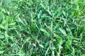Photo caption: Canadian thistle in a grass hay stand 3 weeks after cutting. This a good stage of growth to spray with a herbicide in the fall.