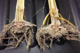 Figure 1. Different stalk rots of corn are known to occur in Pennsylvania. Photo Credit: Ayllssa Collins