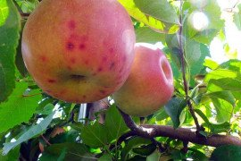 Fruit Disorders: New Tool to Assess the Potential for Bitter Pit in Honeycrisp