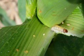 Caption: European corn borer larva feeding in the whorl of a corn plant.